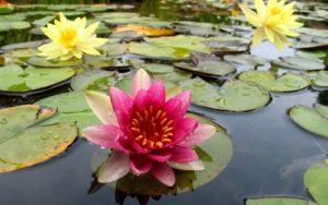 sognare fiori loto