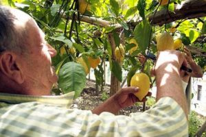 sognare raccogliere limone