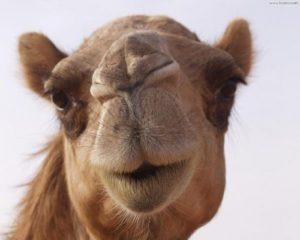 sognare cammello