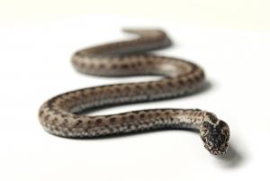 sognare serpente buono