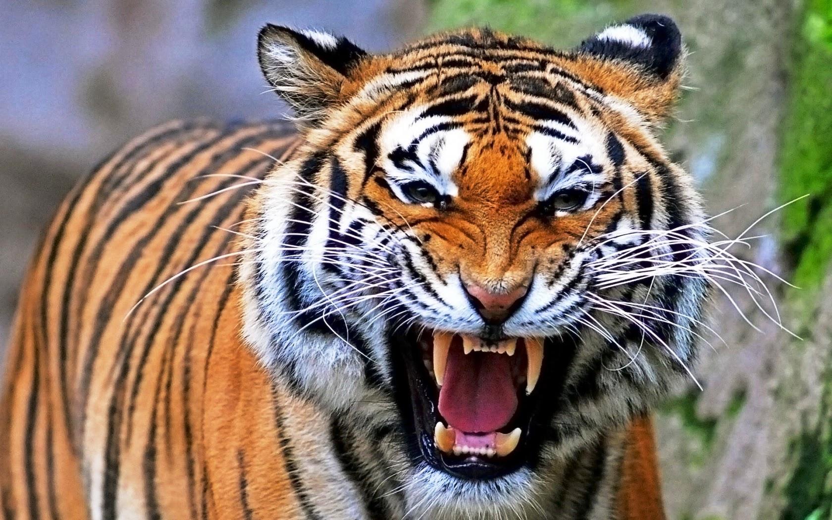 sognare tigre