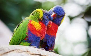 sognar eppagallo colorato